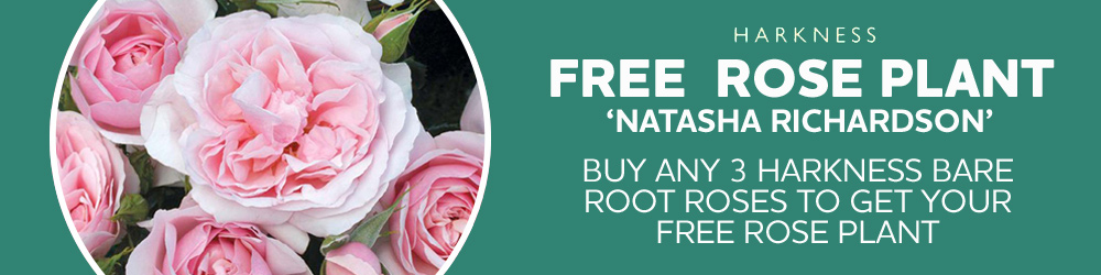 Free rose plant